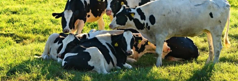 Pieno supirkimo kainos paaugo