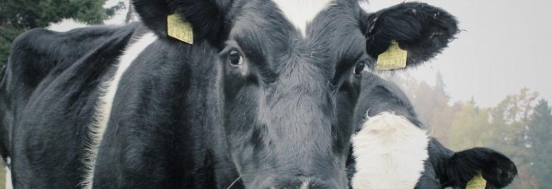 Gaisrai Australijoje ir naftos kainos: ką tai turi bendro su pieno rinka?