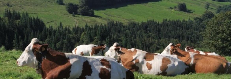 Lietuvos pieno ūkiai pralaimi kaimynams