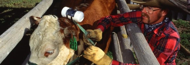 Tūkstančiai pieno ūkių JAV nutraukia veiklą