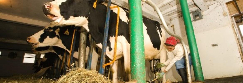 Smulkieji pieno ūkiai be valstybės paramos neišgyventų