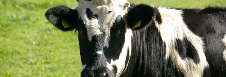 Nepaisant pieno kainų griūties pasaulyje, Lietuvoje jos išlieka stabilios