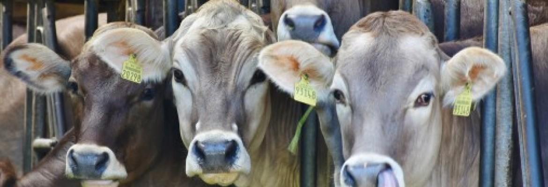 Lietuvos pieno ūkiai tęsia tvarų augimą